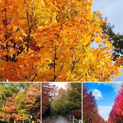 Various pictures showing trees in red, orange and yellow